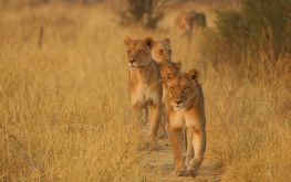 Lion heard spotted on a game drive