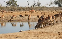 Red Lechwe drinking at a waterhole