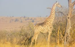 Giraffe spotted on a game drive with Kala Safaris arround Mababe Depression