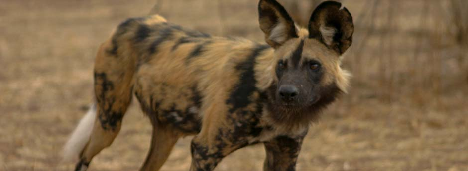 African wild dogs spotted at moremi