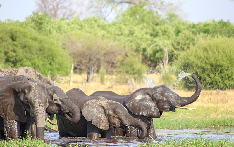 Elephant herd spotted at Chobe river