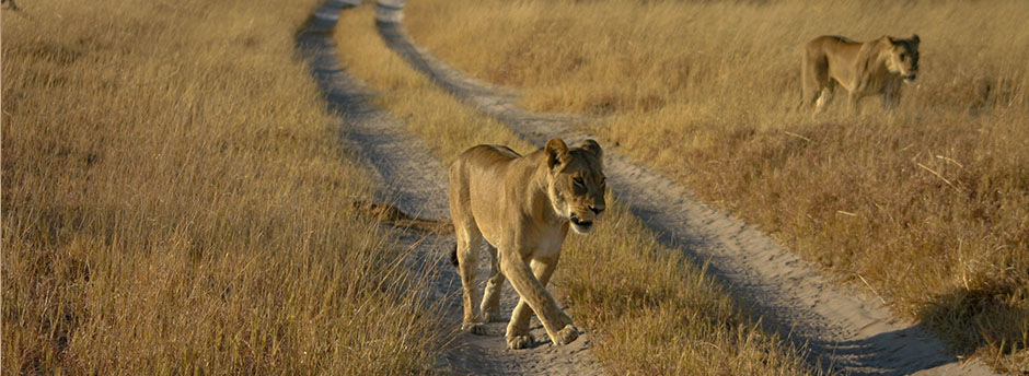 lions spotted at Nxai Pan